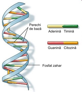 structura adn uman