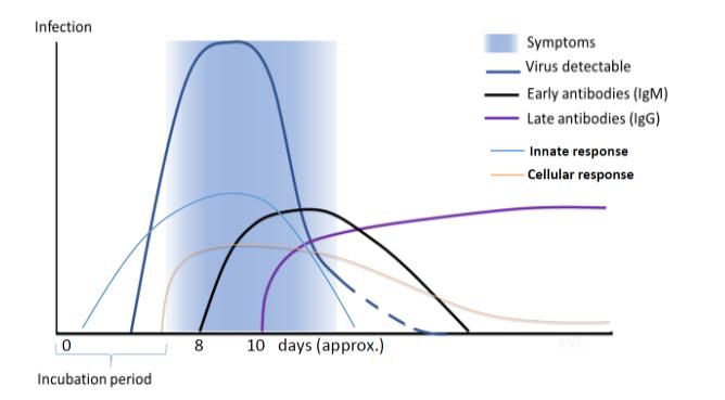 SARS-CoV-2: Detecția anticorpilor IgG în laboratoarele Synevo - Synevo