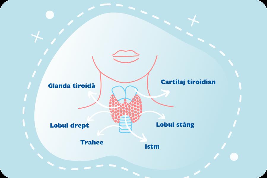 descriere tiroida, lob drept tiroidian, lob stang tiroidian, glanda tiroida