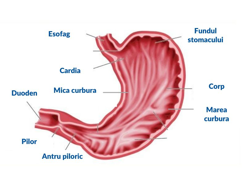 structura stomac, Helicobacter Pylori, gastrita, ulcer gastric, ulcer duodenal